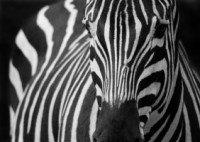 Zebra Muster